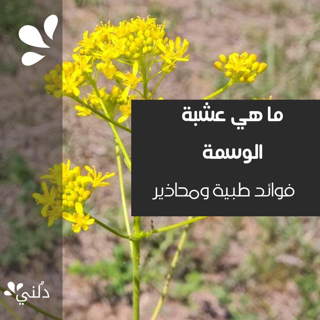 ما هي عشبة الوسمة فوائد طبية ومحاذير استخدامها Herbs Plants