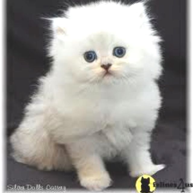 Full grown micro teacup Persian cat. I will own one of these within ...