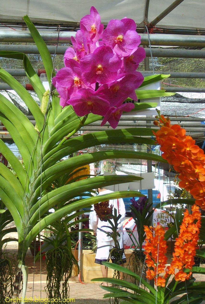 Dendrobium Peguam Vanda Orchids Beautiful Orchids Orchids