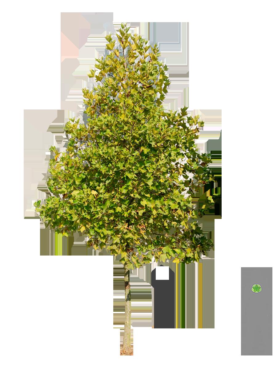 Kugel Platane boom plataan bolplataan groen
