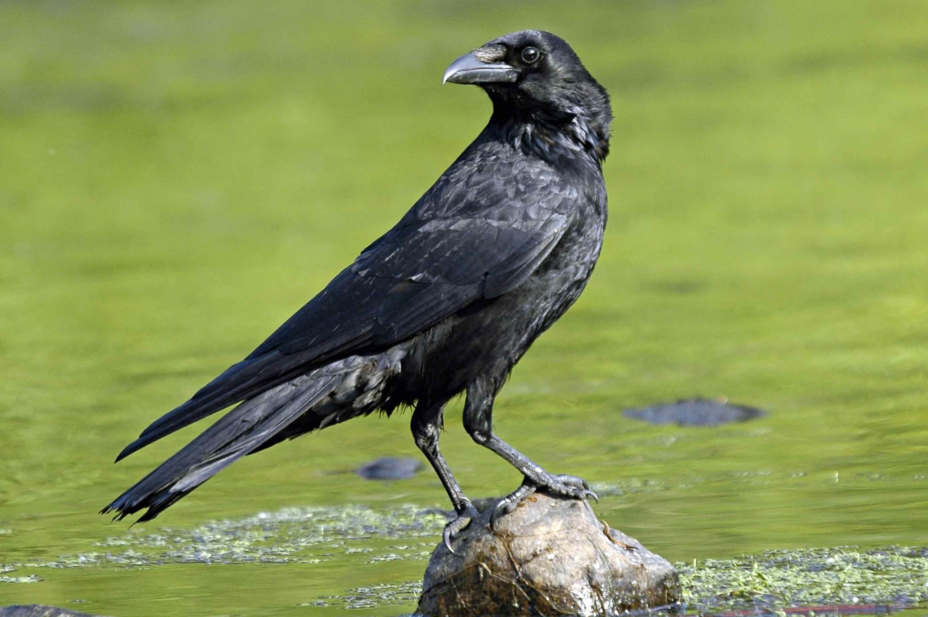 Birds Crow Wallpapers Free Beautiful Download Hd Desktop Images Crow Crow Images Crow Bird