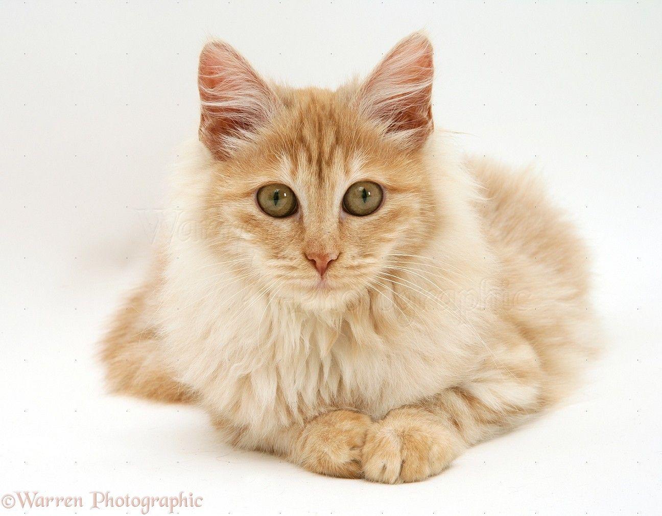Turkish angora kittens for sale in virginia
