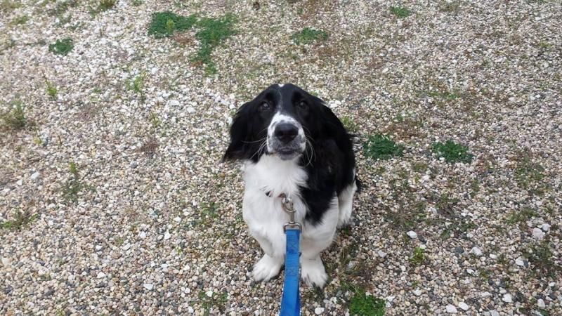 Adopt Dakota on Basset hound mix, English springer