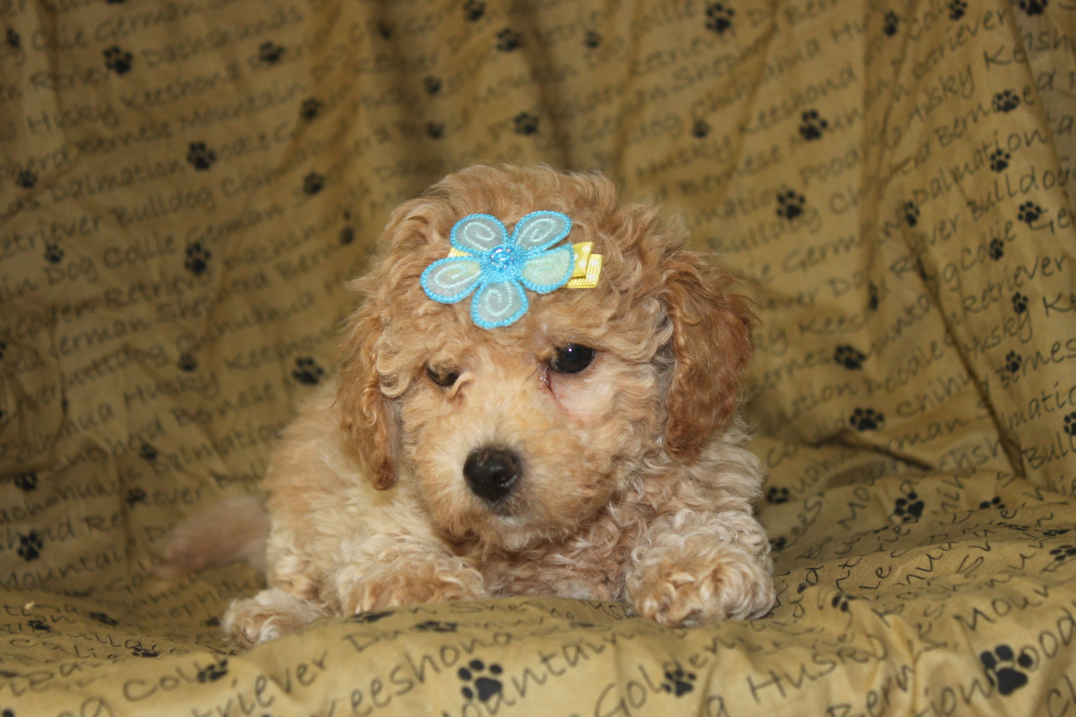 Poo Puppies For Sale In Shippensburg Pennsylvania Www Network34