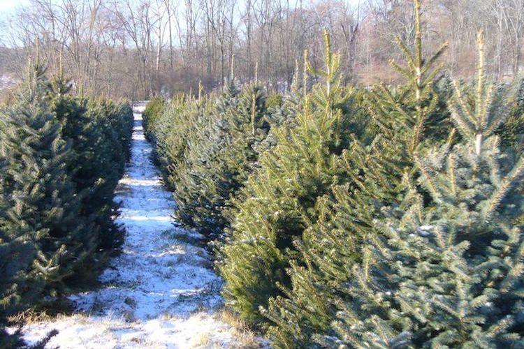 Best Christmas Tree Farms In Cincinnati Cincinnati Parent Magazine Cool Christmas Trees Christmas Tree Farm Tree Farms