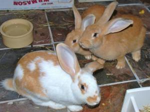 Adopt Two Sister Giants On Flemish Giant Rabbit Giant Rabbit Meat Rabbits