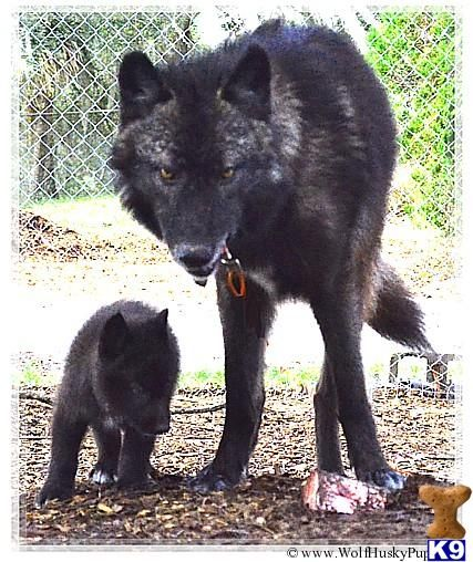 Wolf Dog Puppy for Sale: HYBRID WOLF CUBS 3 Months old | I