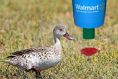 Cape Teal Duck Using PECk O MATIC Automatic Duck Feeder   Cape Teal Is A  Small, Stocky Tropical African Duck. For Feeding Seeds To Cape Teal Ducks  ...