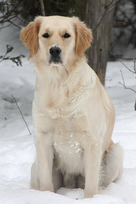 It S Winter By Sue Chisholm Dogs Golden Retriever Dog Love