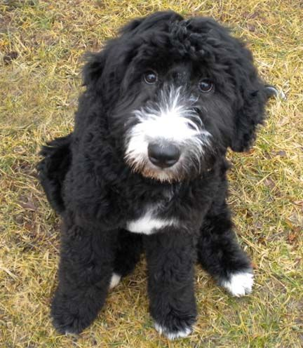 English Sheepdog Poodle Mix With Images Spoiled Dogs Poodle