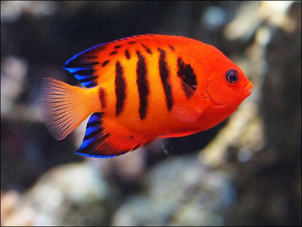 Flame Angelfish | Ocean | Pinterest | Angelfish, Aquariums and ...
