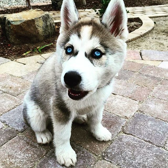 Instagram media modernambition - Blue-Eyed Siberian Husky Pup © @sibhuskyluna Tag A Husky Lover