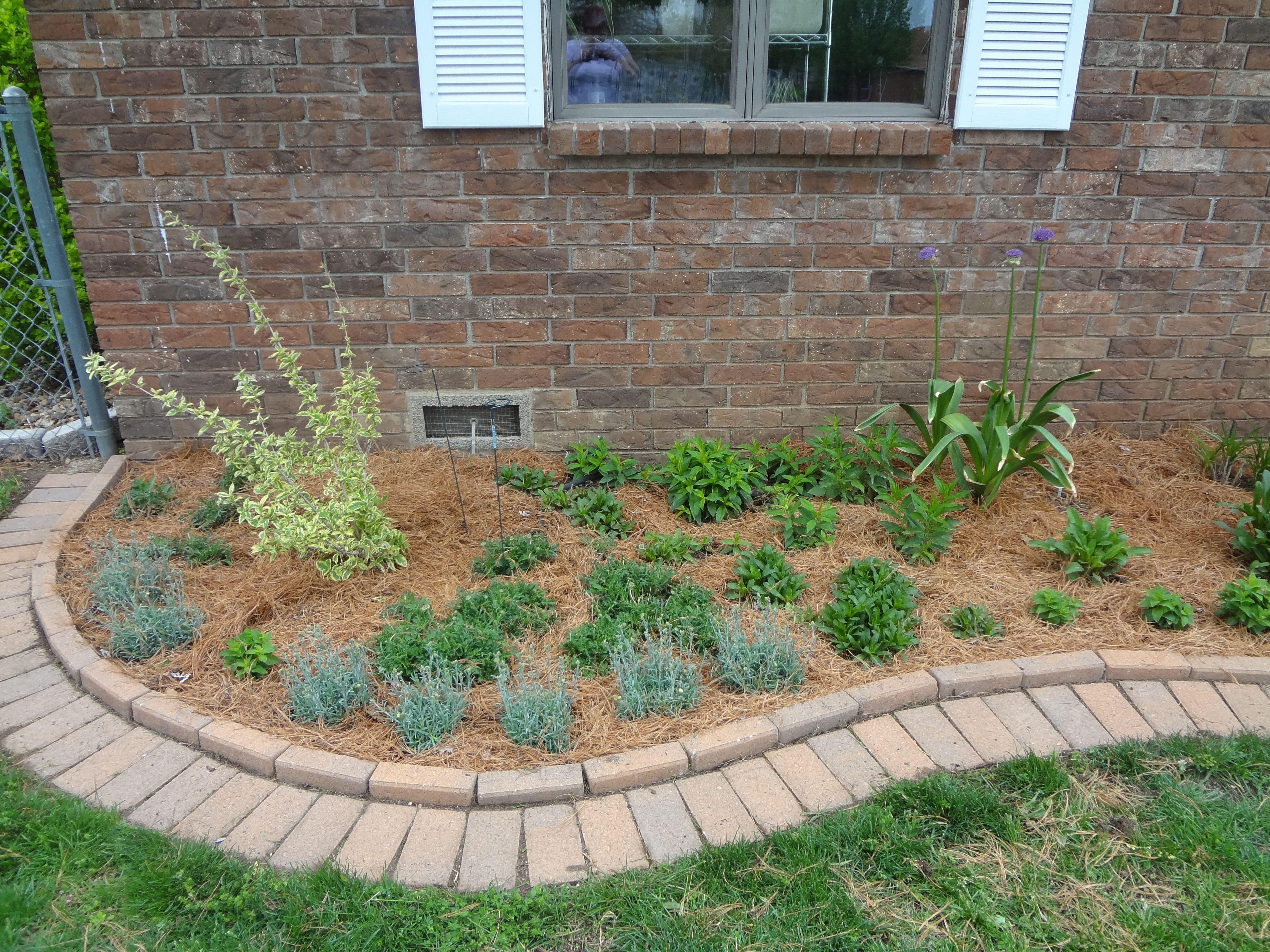 curved brick edging on the left side of my front border  verigated wiegela was half killed by