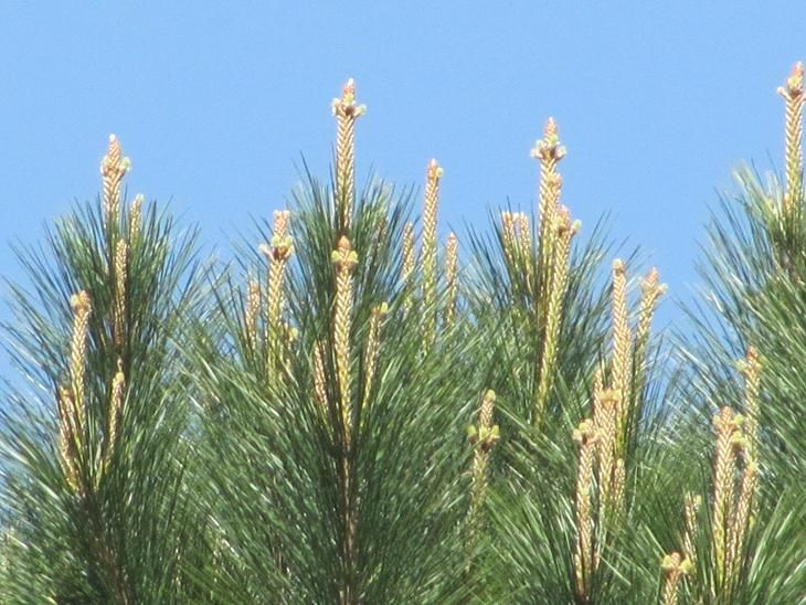 pine tree crosses at easter - Saferbrowser Yahoo Image Search Results