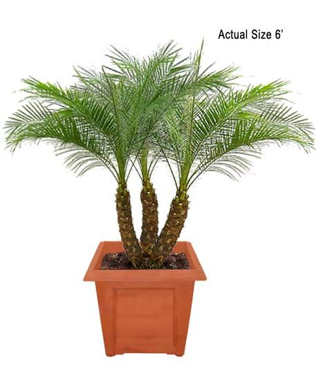 Pygmy Date Palm Tree Dwarf Date Palm Phoenix Roebelenii Care Tips Nasa Purifying Score 7 8 While It Doe Small Palm Trees Palm Plant Indoor Palm Trees