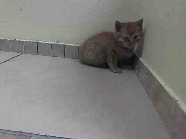 TO BE DESTROYED 5/21/14 ** BABY ALERT! ONLY 6 WKS OLD! PLEASE FOSTER, ADOPT OR PLEDGE TO SAVE THIS SWEET LITTLE ONE TONIGHT!! * Brooklyn Center  My name is ORANGE. My Animal ID # is A1000129. I am a male org tabby domestic sh mix. The shelter thinks I am about 6 WEEKS old.  I came in the shelter as a STRAY on 05/17/2014 from NY 11361. I came in with Group/Litter #K14-177732.