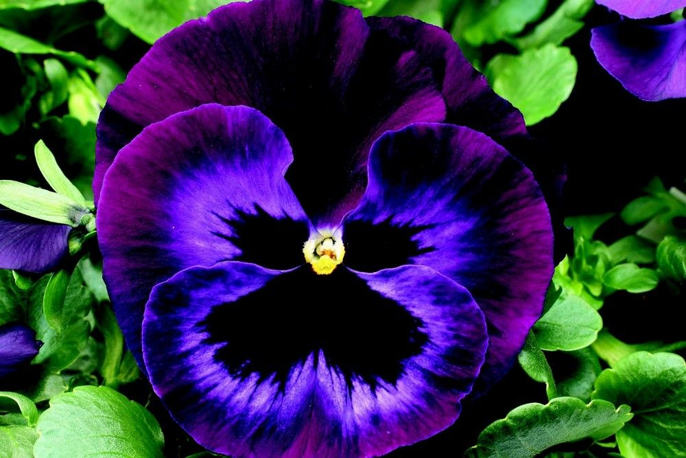 Pretty Little Pansies Are Said To Taste Like Wintergreen You Don T Even Have To Remove The Stem When You Eat Th Pansies Flowers Annual Flowers Flower Pictures