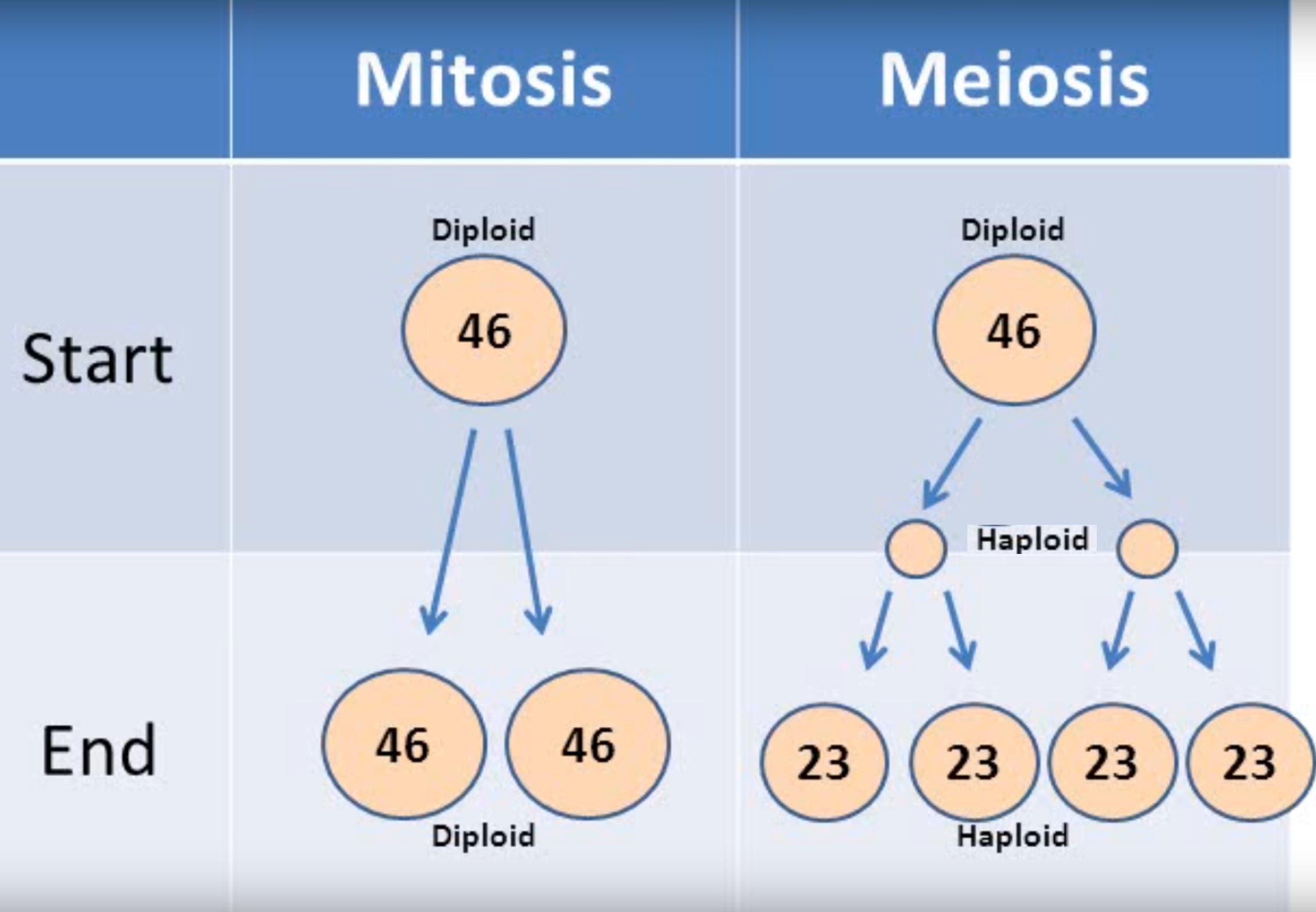 Todas Las Celulas Humanas Son Diploides