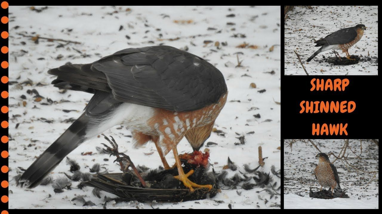 Sharp Shinned Hawk Catch A Starling Warning Not For The Faint At Heart Massachusetts Hawk Birds Of Prey Bell Sharp Shinned Hawk Backyard Animals Hawk Bird