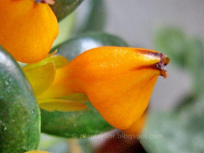 Nematanthus gregarius (flor)