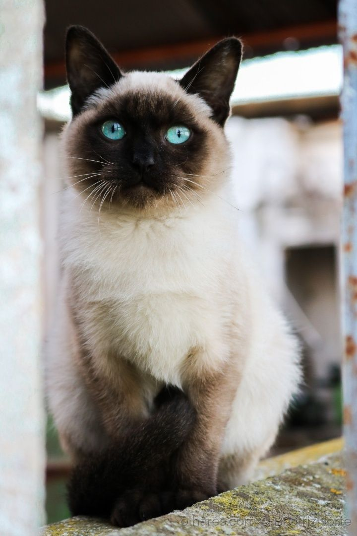 Pin By Angi On We Are Siamese If You Please With Images Cats And Kittens Crazy Cats Animals Beautiful