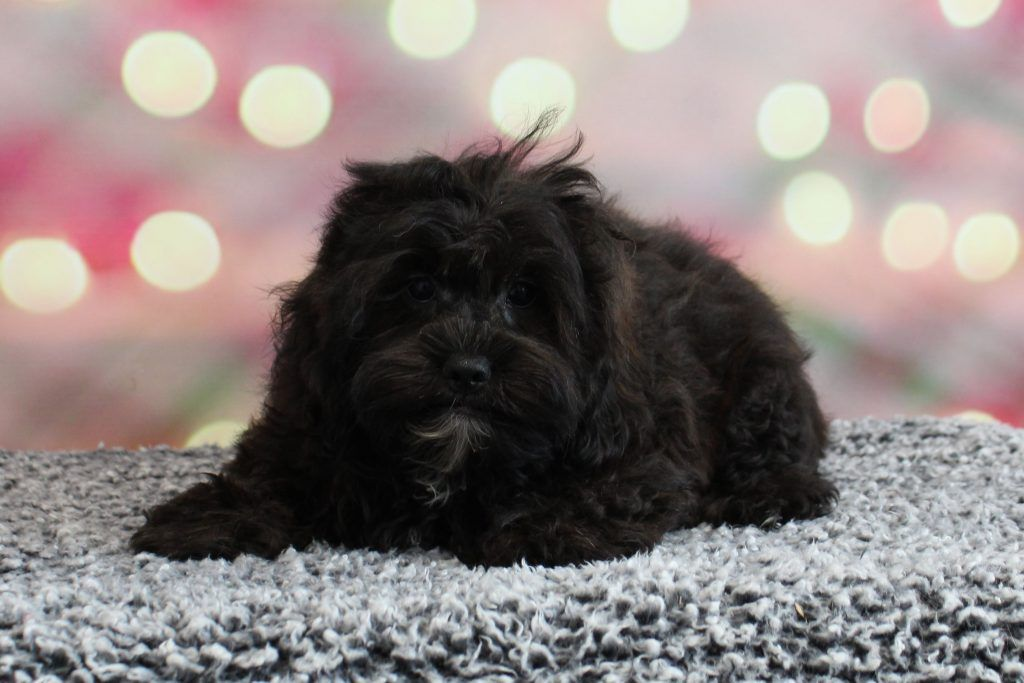 Mini Small Breed Puppies For Sale Minnesota Valley View Puppies Valley View Puppies In 2020 With Images Puppies For Sale Puppies Cocker Poodle