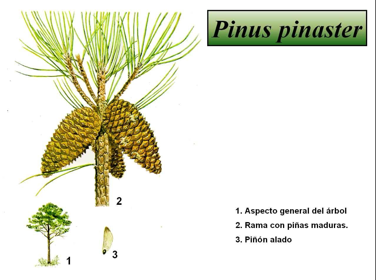 Resultado de imaxes para Pinus pinaster | Coniferophyta | Pinterest