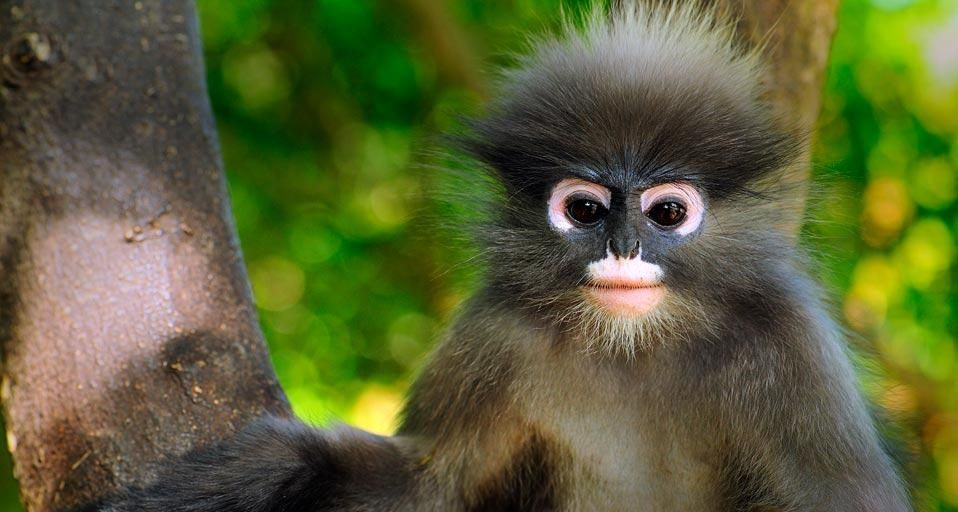 Dusky leaf monkey, Khao Sam Roi Yot National Park