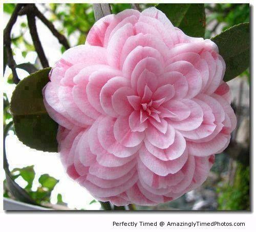 Beautiful camellia japonica when pink flowers get all wild and beautiful camellia japonica when pink flowers get all wild and beautiful for you mightylinksfo