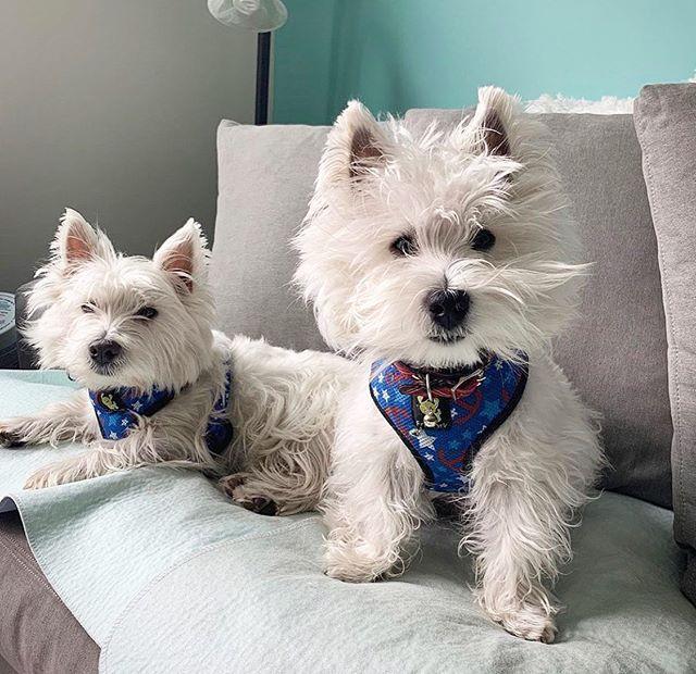 The Best Westie Puppies Dogs In Rhode Island USA