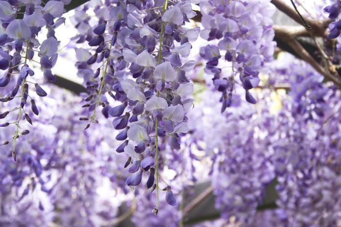Blauregen richtig schneiden in 2020 Blauregen, Pflanzen