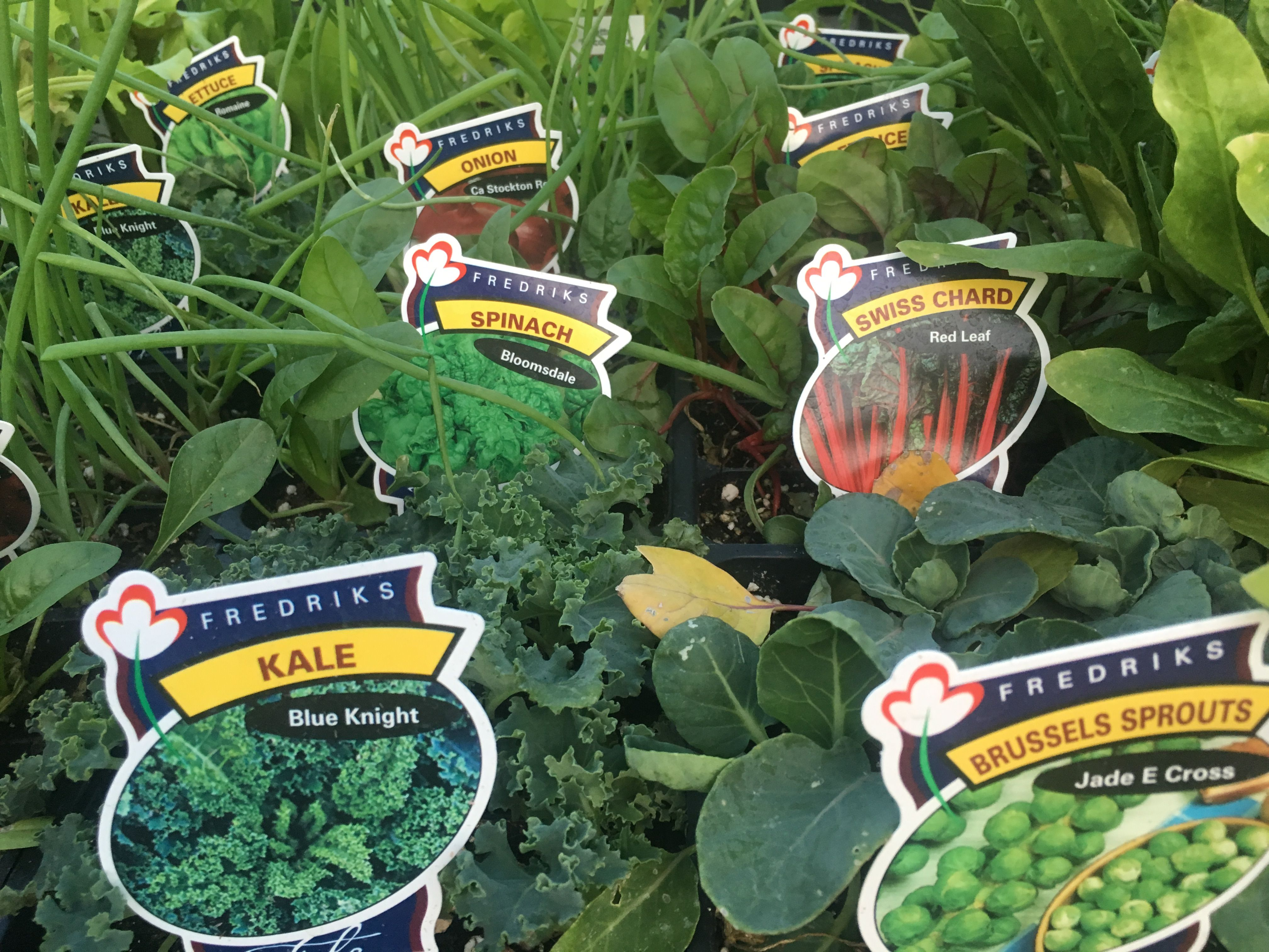 plant a fall winter vegetable garden now seeds and plants you can