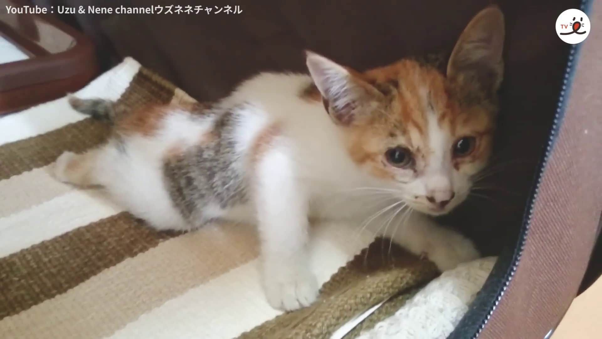 A Kitten Fell From The Bridge And Broke Her Leg She Could Not Move Perfectly Limping Its Right Hind Limb Nene Was Found By A Kind Hea Kitten Broken Leg Fall
