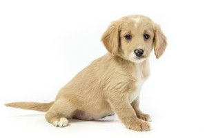 Goldenquest Comfort Retriever The World S First And Finest Miniature Golden Retriever Hypoallergenic R Miniature Golden Retriever Golden Retriever Retriever