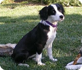 Lathrop Ca Border Collie English Springer Spaniel Mix Meet