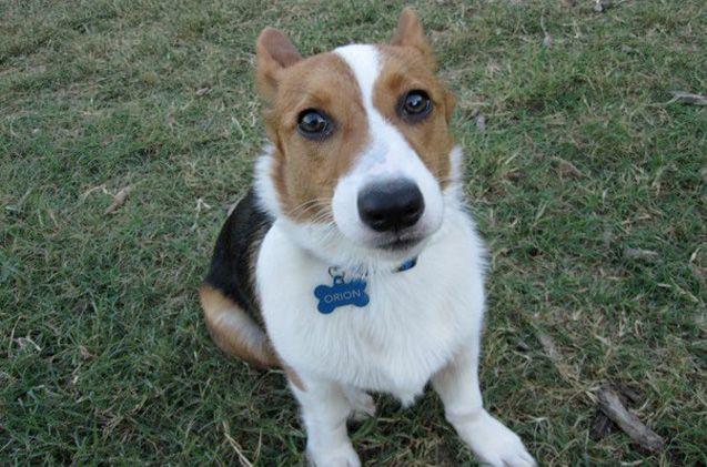Beagi Corgi Beagle Mix Corgi Beagle Corgi