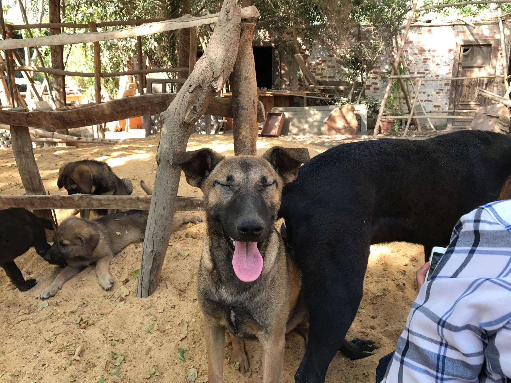 Pharaoh Hound Dog For Adoption In Nyc Ny Adn 559261 On