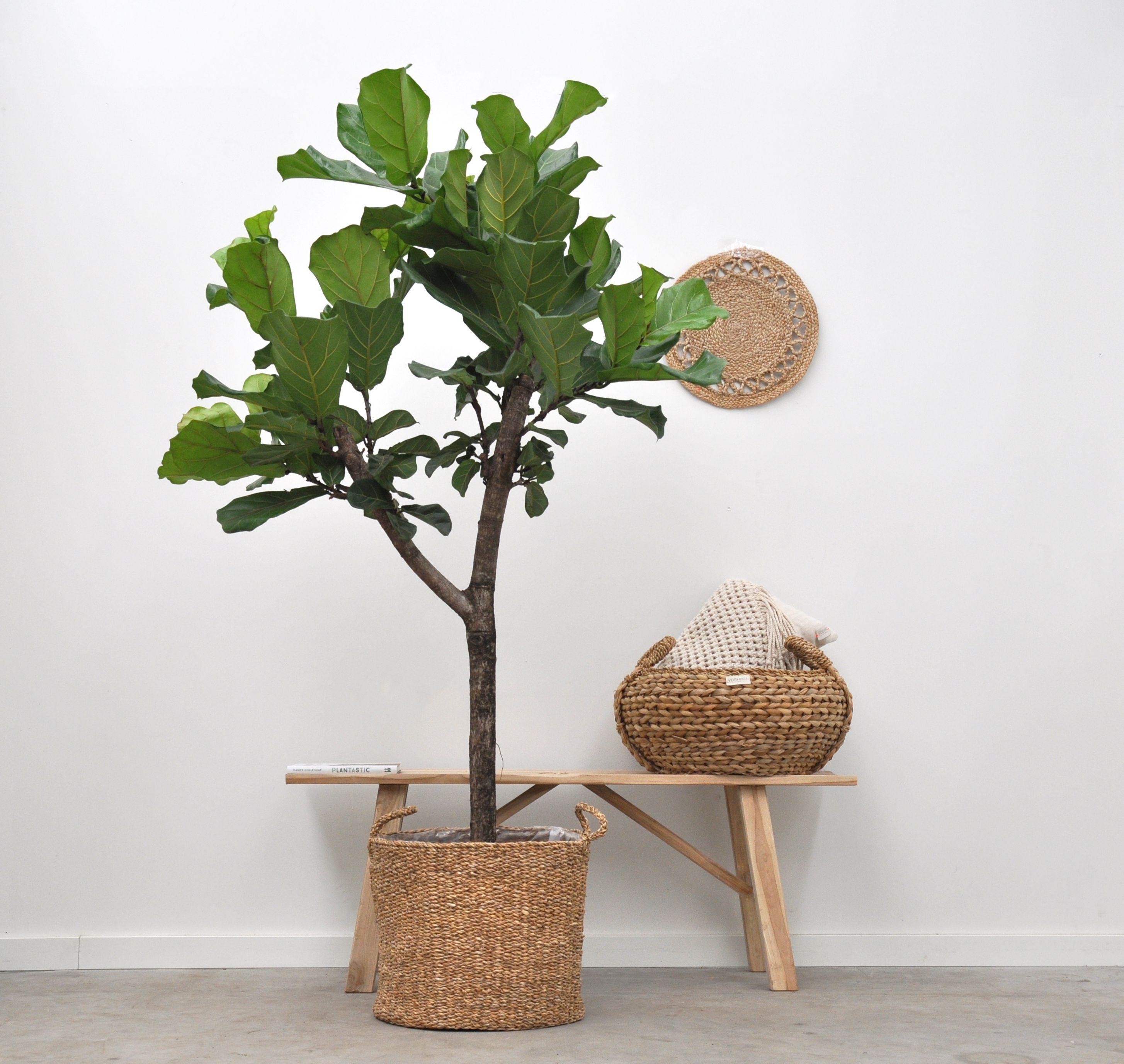 Deze Ficus Lyrata Boom Is De Nieuwe Trendy Kamerplant Kamerplanten Ficus Ficus Boom