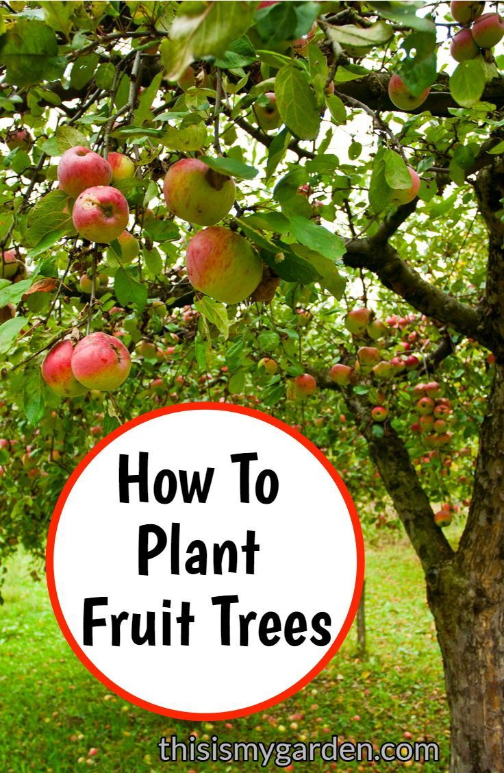 How To Plant Fruit Trees in your own backyard.
