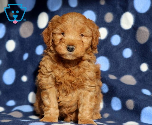 Jewels Goldendoodle Miniature Puppy For Sale Keystone Puppies In 2020 Miniature Puppies Goldendoodle Miniature Goldendoodle