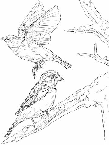 Gorriones Comunes Dibujo para colorear | pájaros y aves | Pinterest ...