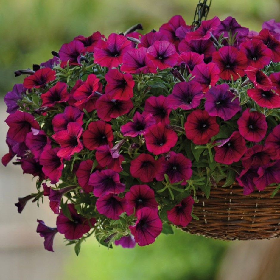 Petunia Multiflora Shock Wave Deep Purple 40 Plus 20 Free