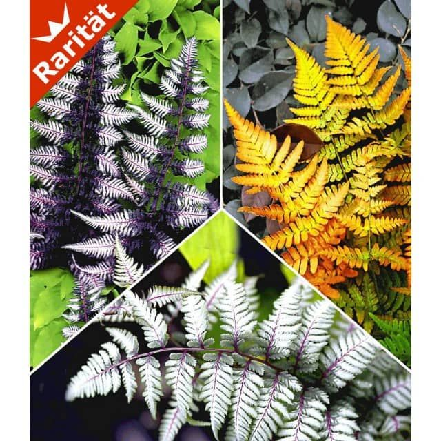 Japanische schmuck farn kollektion 3 pflanzen baldur garten gmbh wohnideen deko garten - Japanische gartenpflanzen ...