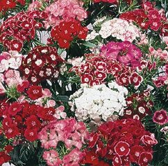 Mixed Dianthus. Late June to October.