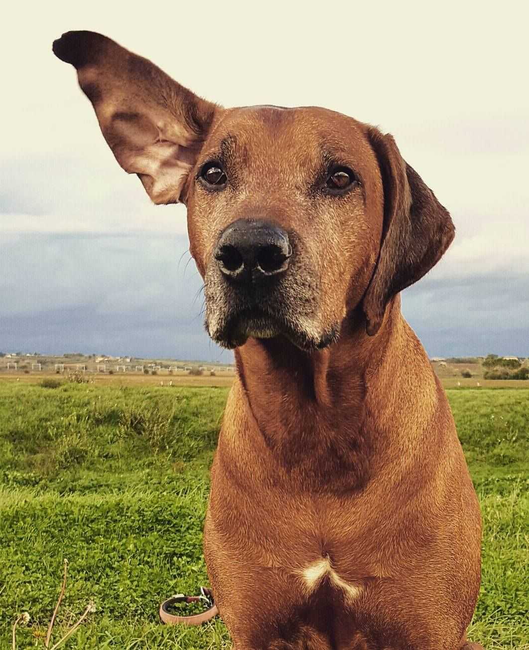 Mom You Should Not Make Me Pics In This Windy Day I Have An Image To Preserve As A Rhodesian Ridgeback Dog Rhodesian Ridgeback Puppies Large Dog Breeds