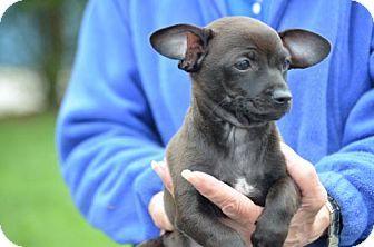 Doylestown Pa Chihuahua Dachshund Mix Meet Bean A Puppy For