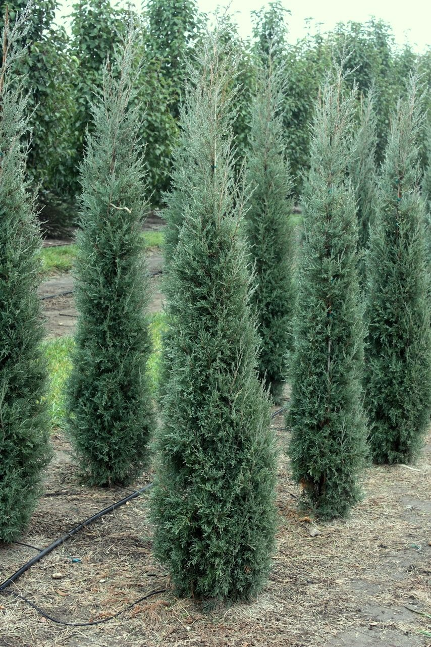 Grey columnar evergreens juniperus taylor juniper wholesale nursery omaha heritage for Columnar evergreen trees for small gardens