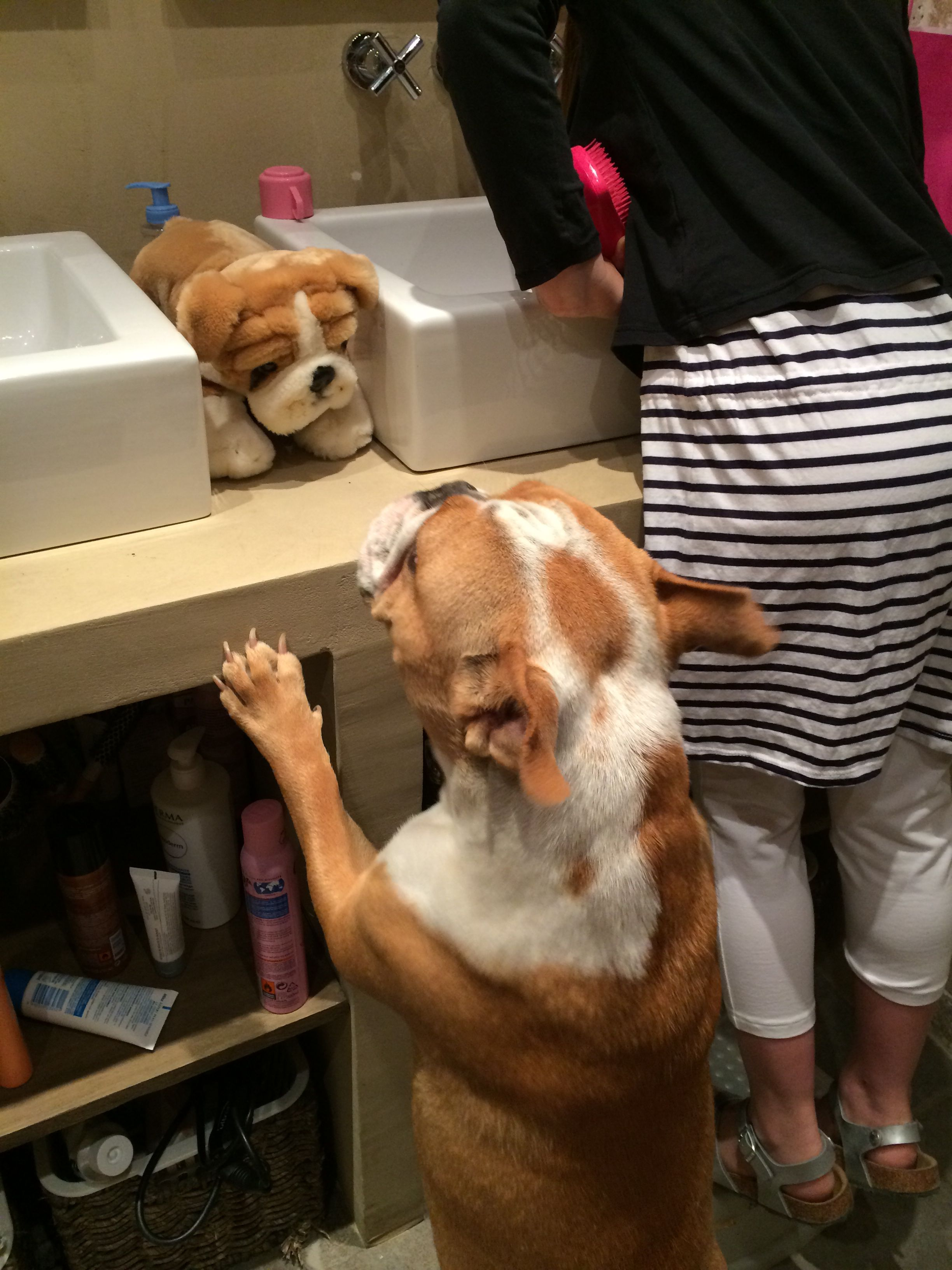 Bulldog find a bulldog