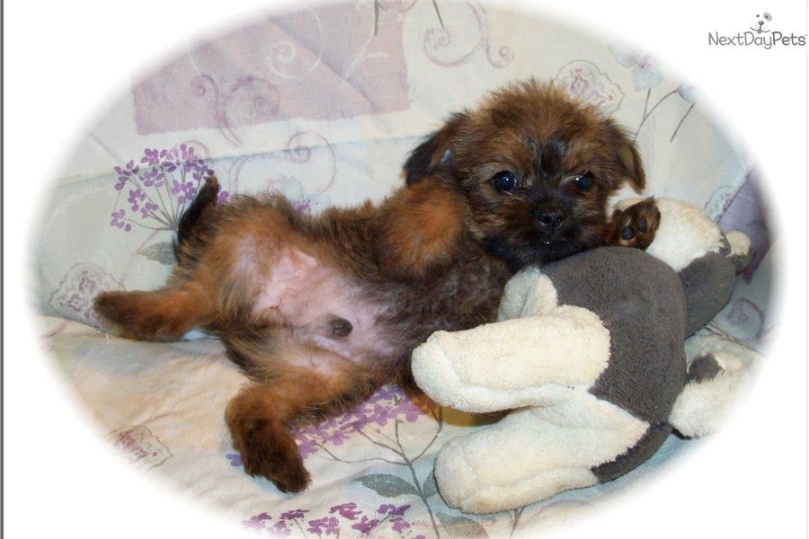 Super Cute Little Male Griffonshire Yorkie Puppy For Sale Yorkie Yorkshire Terrier