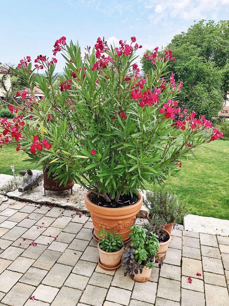 Photo of Oleander – pflegen, düngen, schneiden, überwintern – alle Tipps & Infos